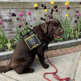 Weighing Winston: APD comfort dog brings joy, increases police presence at school